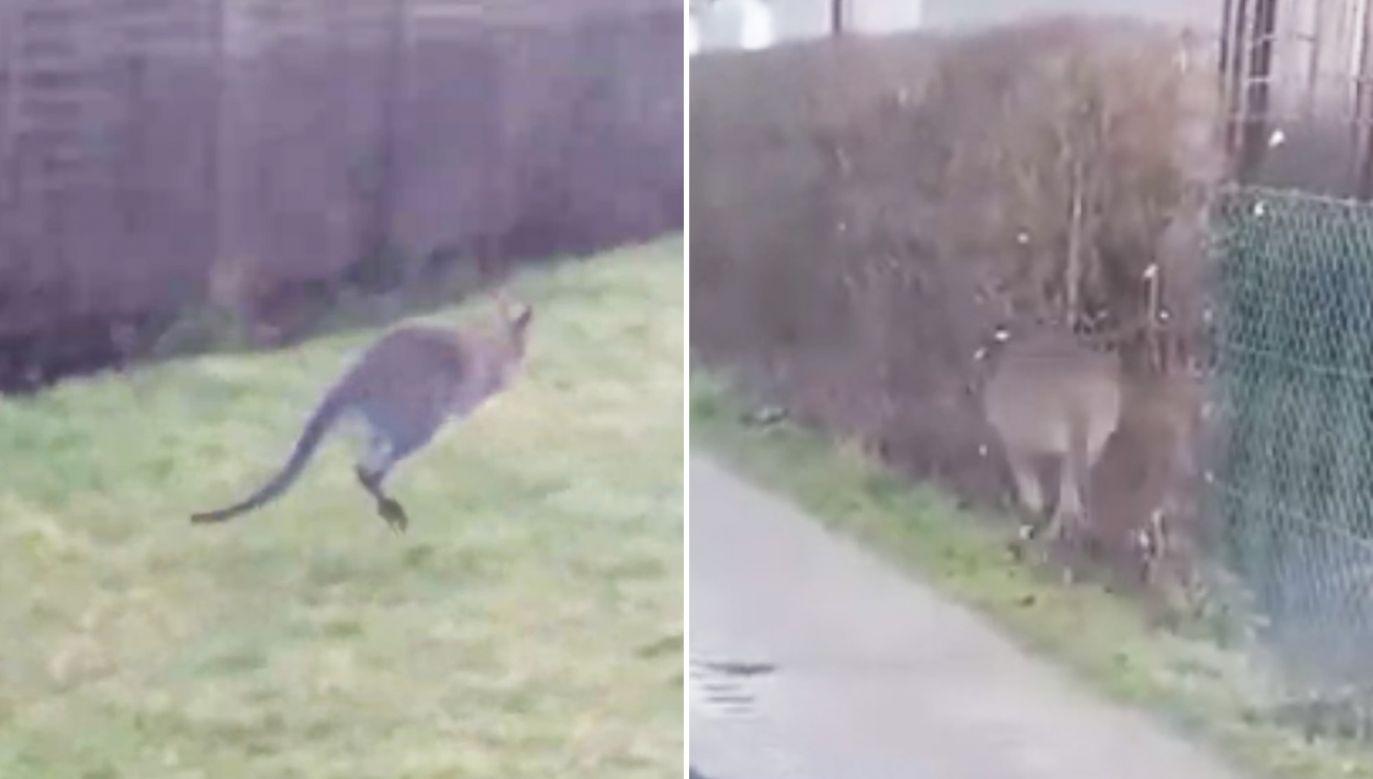 Kangur okazał się niełatwym do złapania zbiegiem (fot. YouTube/Tymczasem w Rumi, Skórczak)
