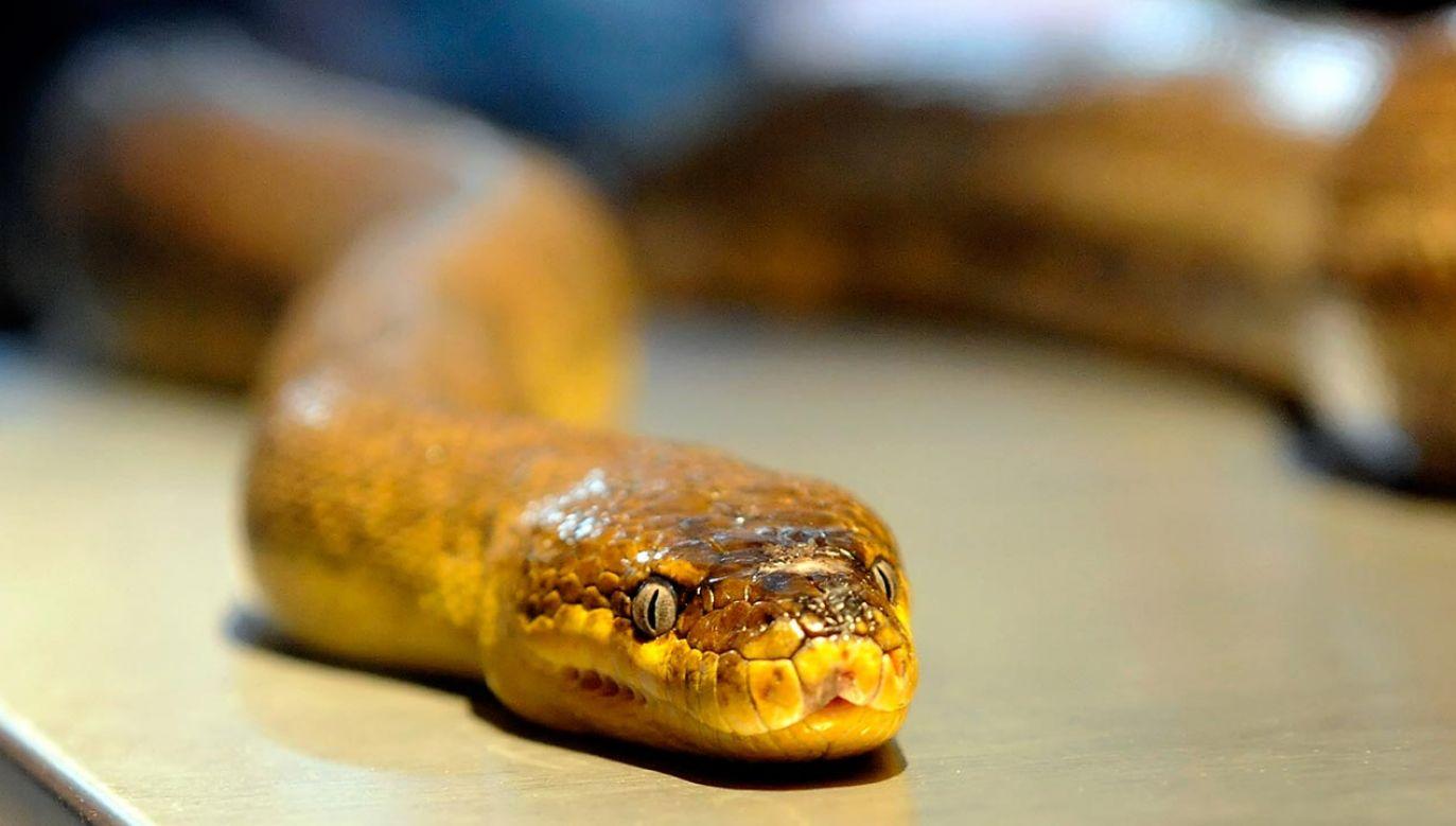 Większość noszonych przez węże wdzianek to prawdziwe dzieła sztuki (fot. Ethan Miller/Getty Images)