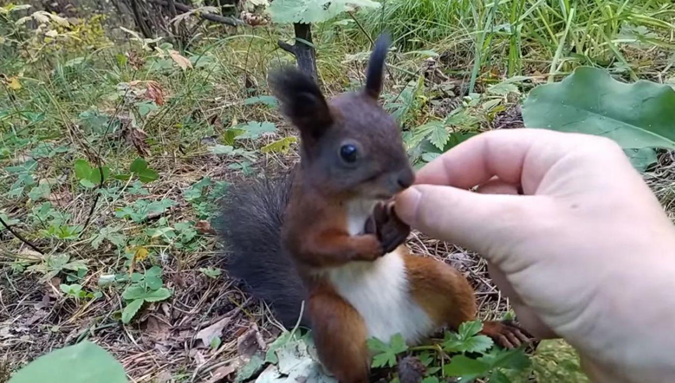 Zszokowana wiewiórka, obładowana orzechami (fot. TouTube/Daniil Tyuterev)