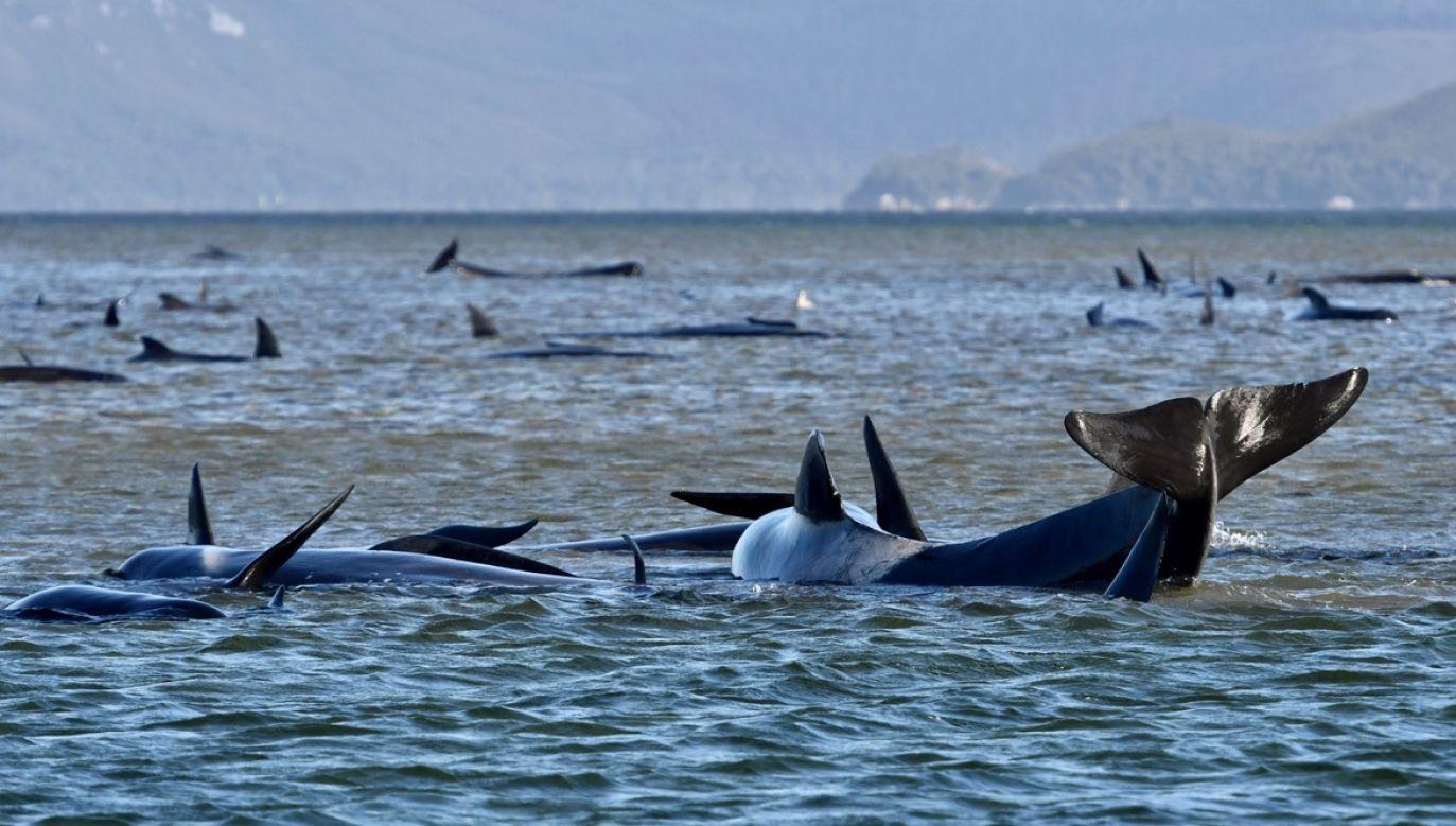 Podzielone na trzy grupy zwierzęta utknęły w okolicach miejscowości Macquarie Heads, około 200 kilometrów na północny zachód od stolicy wyspy Hobart, na dzikim i rzadko zaludnionym odcinku wybrzeża (fot. PAP/EPA/BRODIE WEEDING)