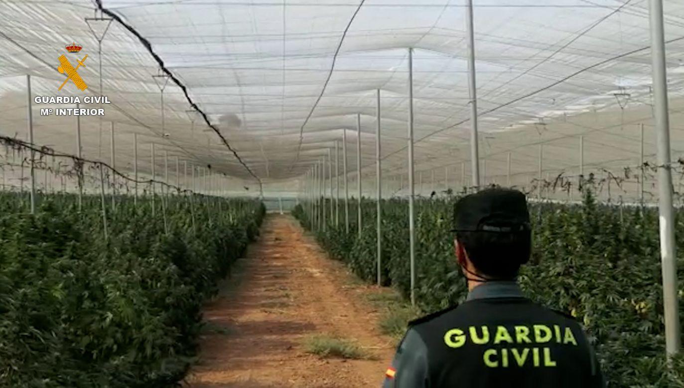 Hiszpania stała się liderem w produkcji marihuany w Europie (fot. Guardia Civil)