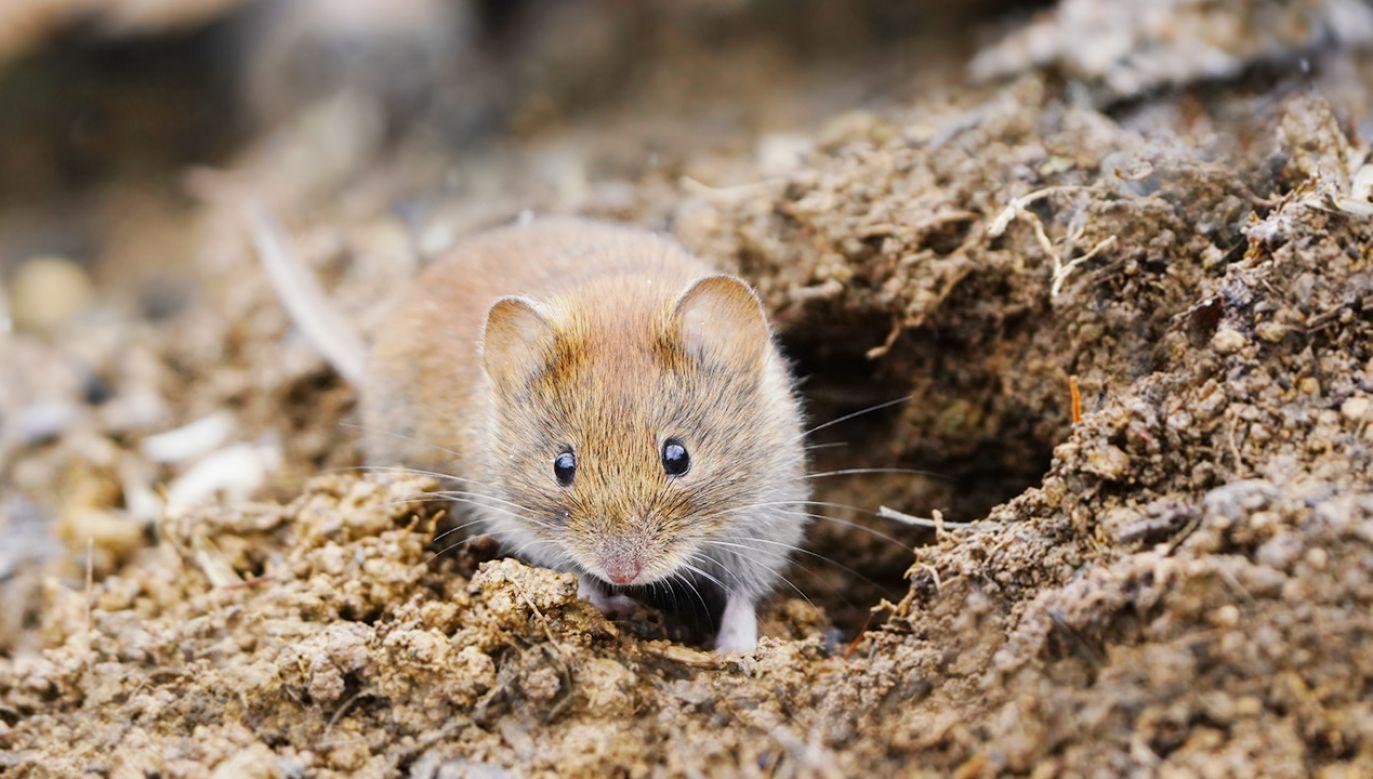 Zakażenia hantawirusem (fot. Shutterstock)