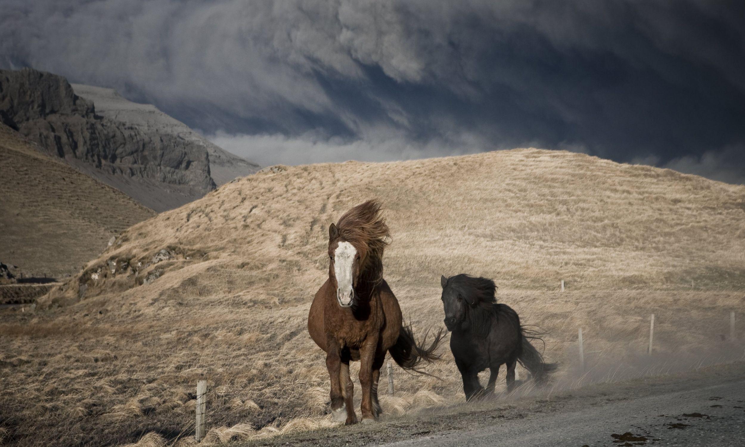 Wybuch wulkanu Eyjafjallajökull na Islandii w kwietniu 2010. Konie gromadzą się w stada i uciekają przed pyłem wulkanicznym. Fot. Rakel Osk Sigurda / NordicPhotos / Getty Images