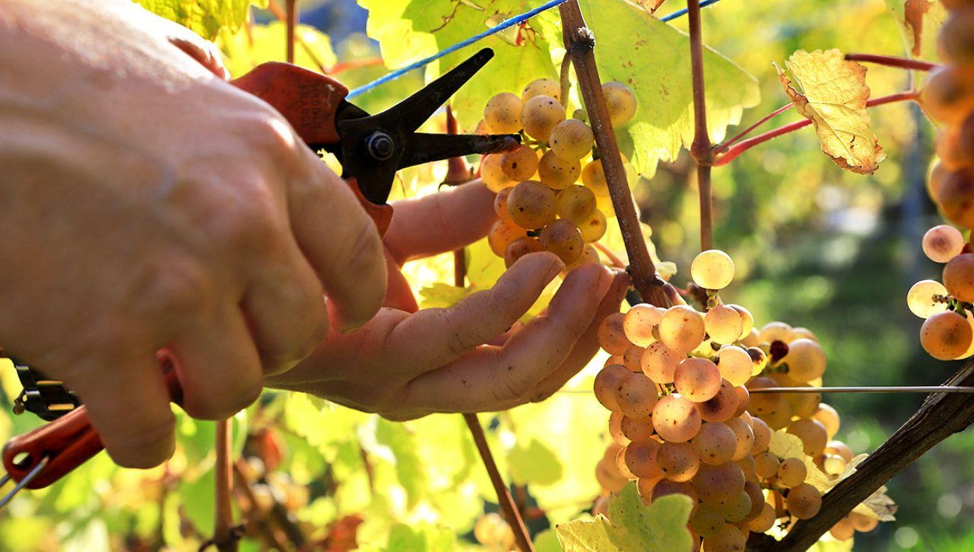 Powodem są mniejsze zbiory winogron (fot. D.Silverman/Getty Images)