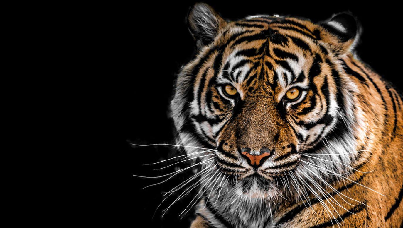 Tygrys nie zostanie poddany eutanazji (fot. Pexels)