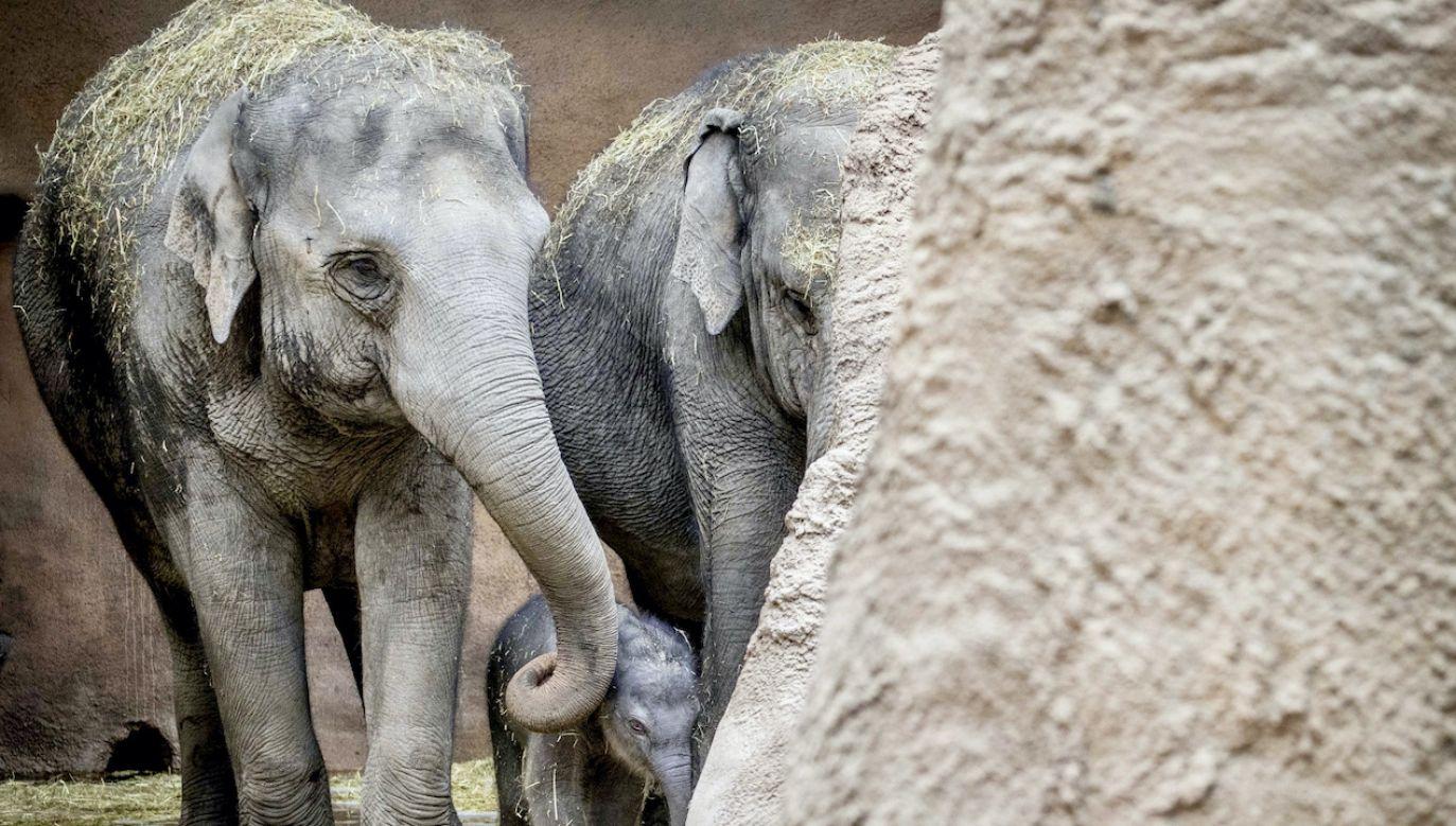 Narodziny 15. słonia w zoo w Rotterdamie (fot. PAP/EPA/SEM VAN DER WAL)