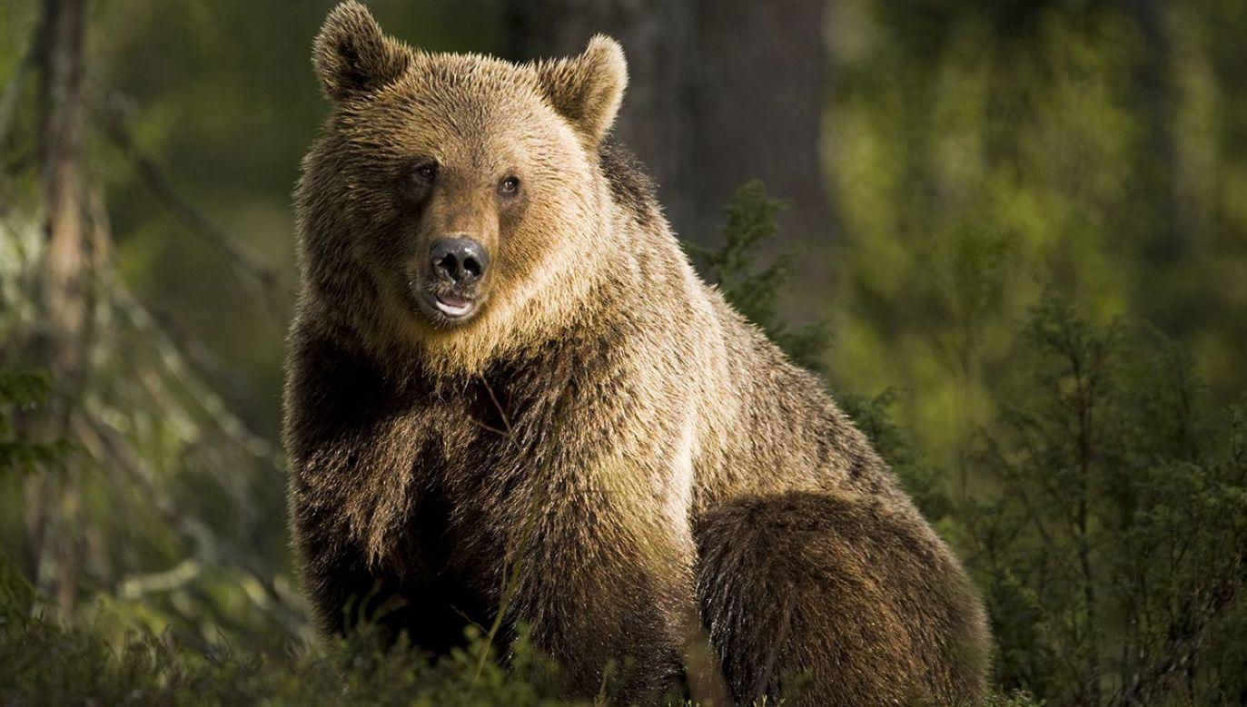 Niedźwiedź został zastrzelony przez pracowników parku narodowego (fot. BMJ)