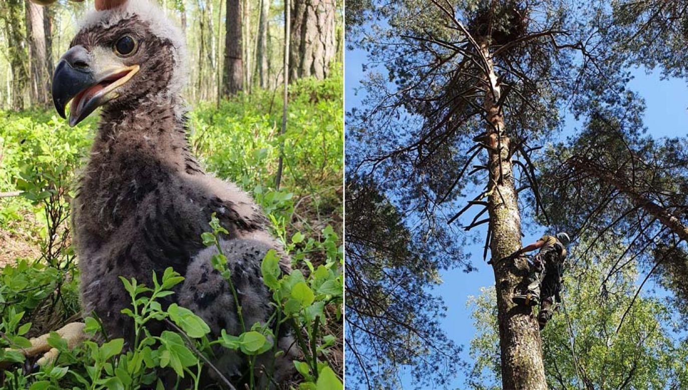 Gdy dorośnie, osiągnie nawet 2,5m rozpiętości skrzydeł (fot. TT/Lasy Państwowe)