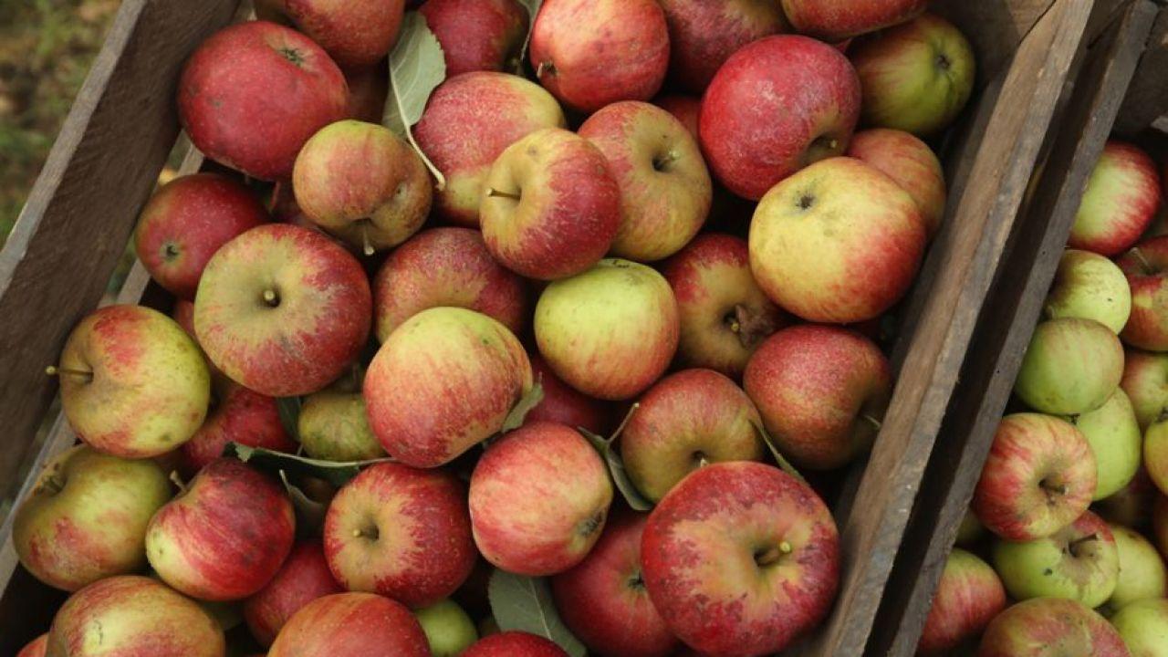 Zbiory jabłek w 2020 r. mogą być większe w porównaniu z ubiegłorocznymi o ok. 6 proc i wynieść 3,3 mln ton (fot. Sean Gallup/Getty Images)