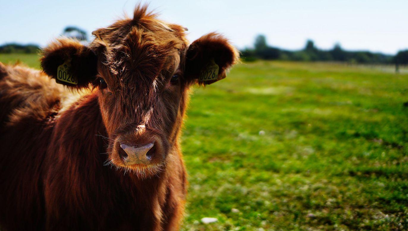 Odnalezione krowy są w dobrym stanie (fot. Pexels)