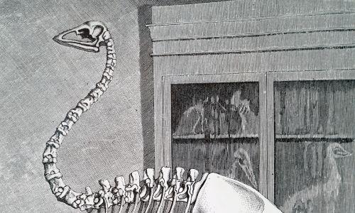 XIX-wieczna rycina przedstawiająca szkielet Aepyornis, gigantycznego nielota z Madagaskaru w okresie plejstocenu. Fot.Universal History Archive / Universal Images Group via Getty Images