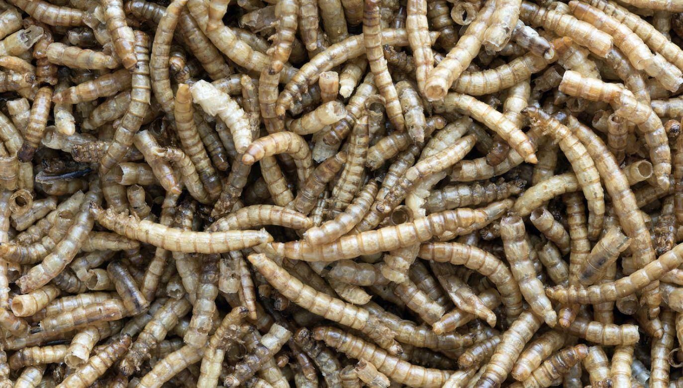 Według UE larwy mącznika młynarka są niskoemisyjnym źródłem żywności (fot. Shutterstock/ Ian Roscoe)