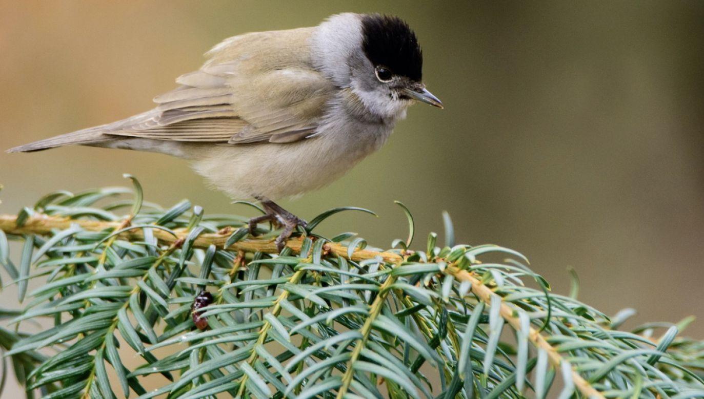 Wirus został wykryty u gajówki z gatunku małego ptaka wędrownego (fot. Shutterstock/Arnau Soler)