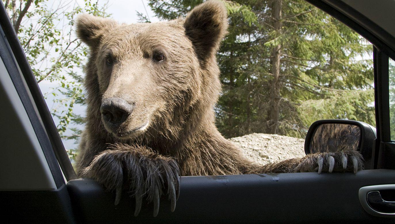 Niedźwiedź wszedł do samochodu i rozbił się o drzewo (fot. Shutterstock/MihaiDancaescu)