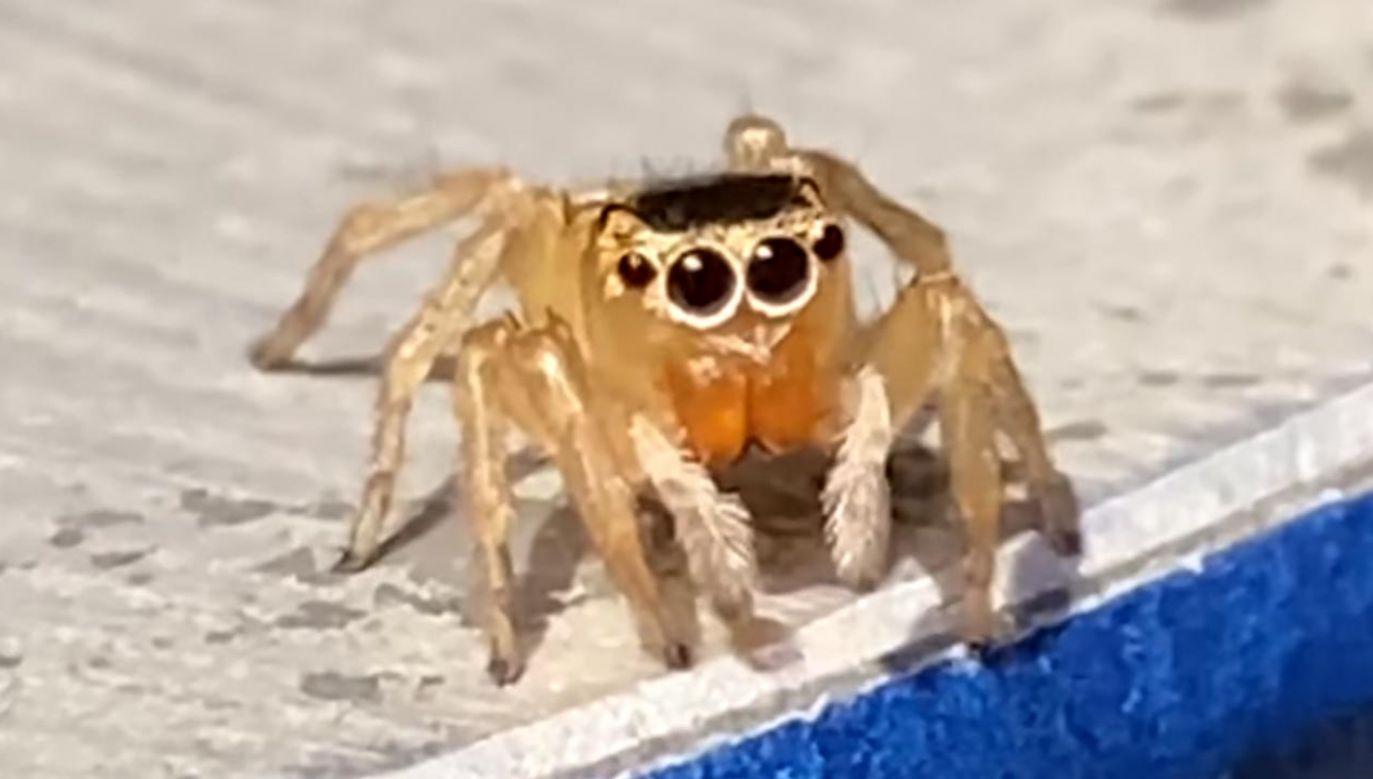 Nagranie z pająkiem stało hitem w sieci (fot. Facebook/Adrian Pearce)