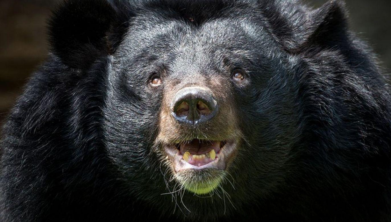 Niedźwiedzie czarne są rozpowszechnione na terenach górzystych i leśnych w Ameryce Północnej (fot. Shutterstock/jeep2499)