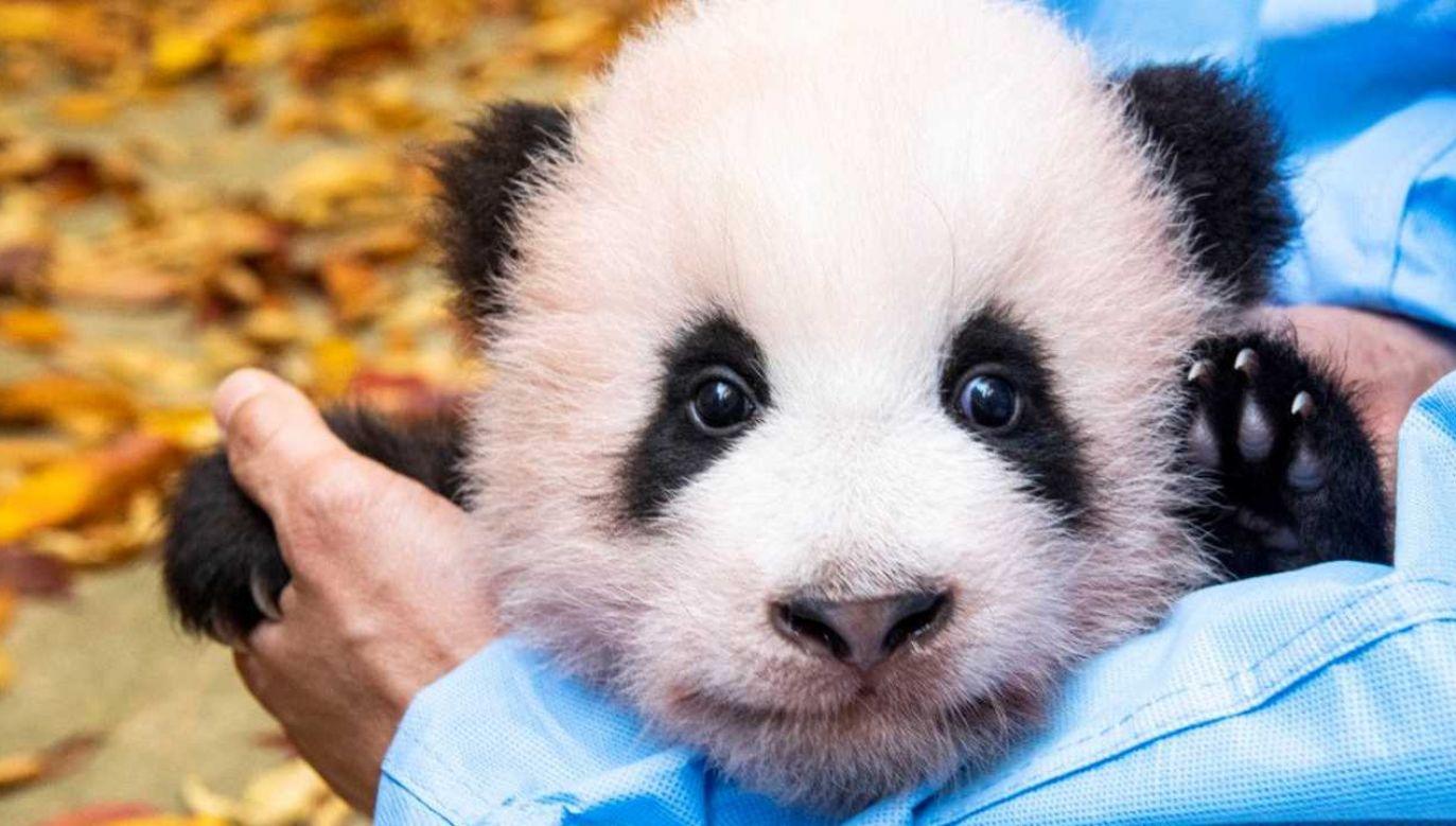 Fu Bao już zachwyca gości parku (fot Everland Amusement Partk/mat.pras.)