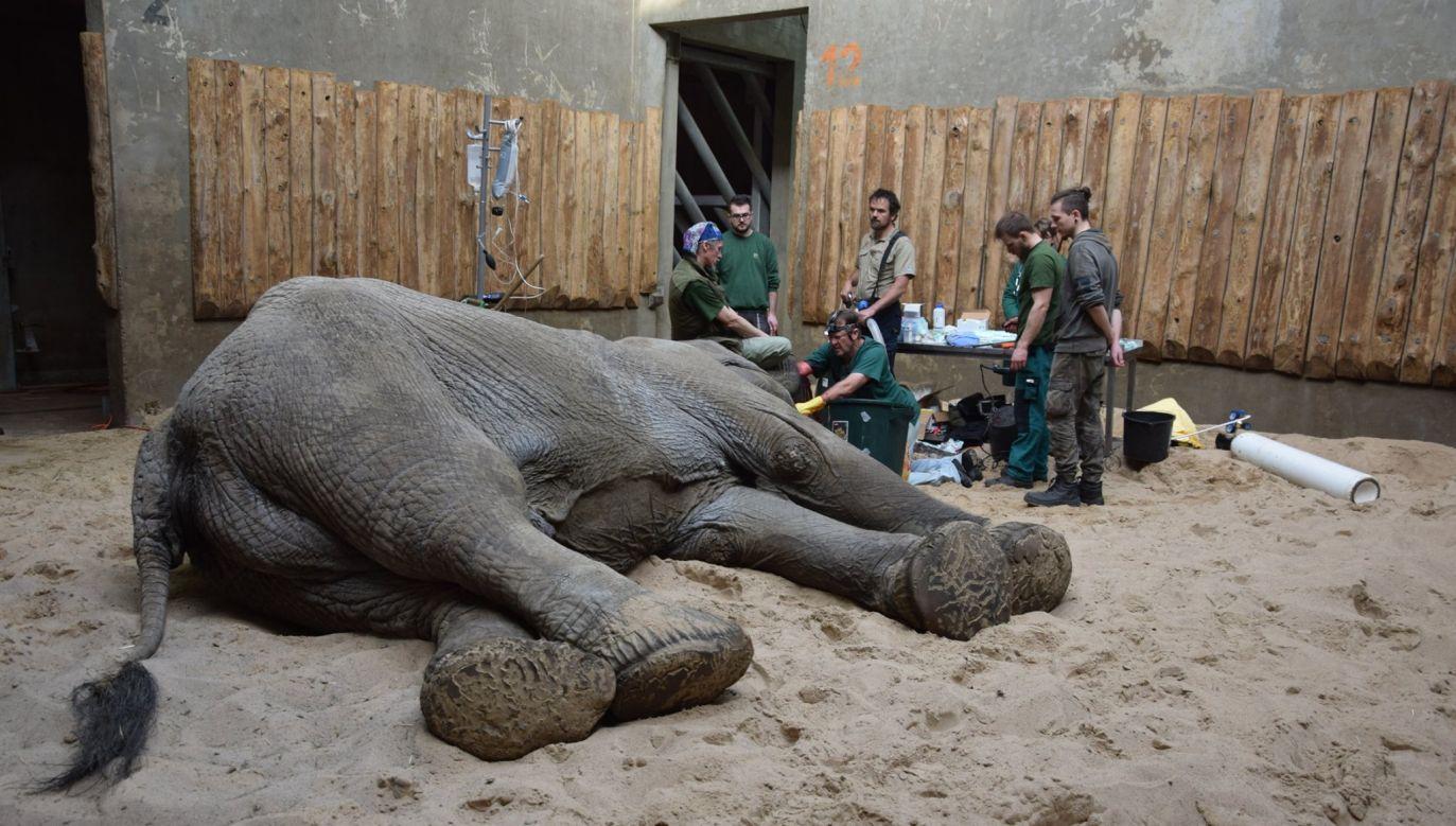 Słoń Ninio przeszedł kolejną operację (fot. Facebook: Zoo Poznań Official Site)